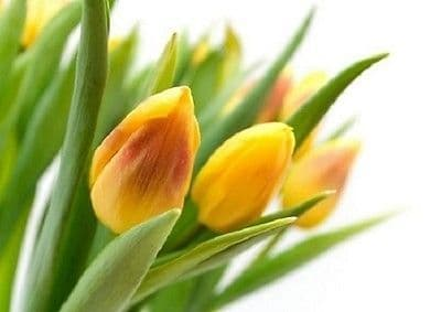 Wall Mural photo Wallpaper YELLOW TULIPS large size wall art 254x183cm