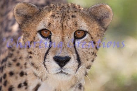 Charting Creations Cheetah Stare printed cross stitch chart